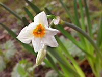 witte narcis of cultuurvariant?